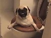 Pug Somehow Got Itself In The Toilet