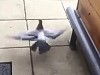 Rescued Pigeon Release Does Not Go As Planned