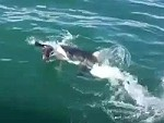 Seal Ducking And Diving A Big Great White