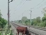 Silly Cow Is Completely Oblivious To The Very Noisy Train