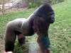 Silverback Gorilla Is Not In The Mood For Visitors