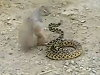 Squirrel Vs Snake Who Will Win