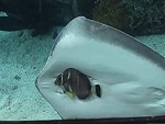 Stingray Ambitiously Trying To Eat A Fish