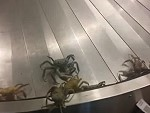 There's Crabs On The Baggage Collection