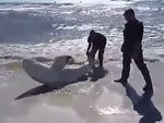 They Drag A Huge Beached Shark Back Into The Ocean
