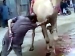 They Try To Slaughter A Camel But The Camel Fights Back