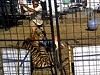 Tiger Tries To Eat Handler In Front Of Terrified Families
