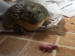Toad Eating Baby Mice Is Just Horrific