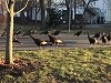 Turkeys Inexplicably Circling A Dead Cat