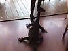 Waitress Drags A Huge Goanna Out Of A Restaurant In Australia