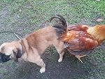 What Came First The Chicken Or The Pug