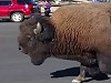 Wild Bison Pay Tourists A Surprise Visit