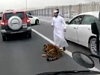 Your Tiger Escaping The Car Whilst Driving Is Normal In Saudi