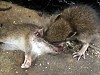 Zombie Rats Eat The Brains Of Their Dead Mates